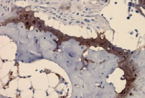 Collagen II, Mouse, mAb M2139